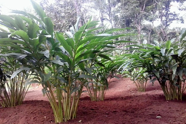 About Idukki Cardamom Cultivation